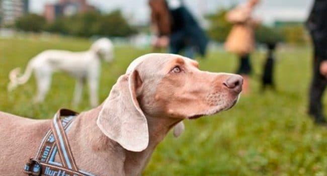 Cours pour proprios de chiens bientôt facultatifs ?